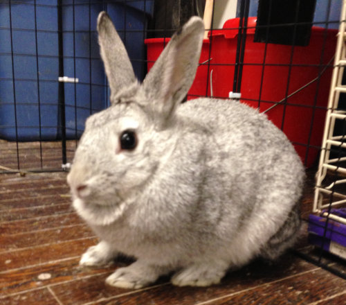 Silver. A rabbit for adoption at Oasis Animal Rescue, Oshawa