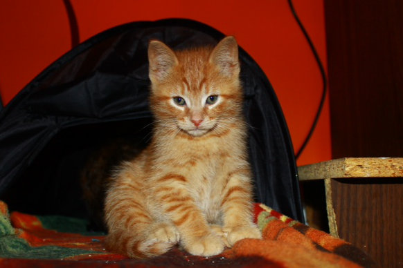 Adopt kitten: Amber