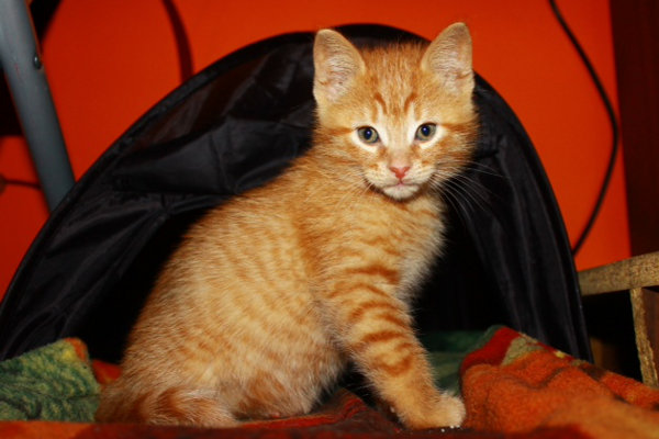 Amber. Kittens for adoption at Oasis Animal Rescue, Oshawa, ON
