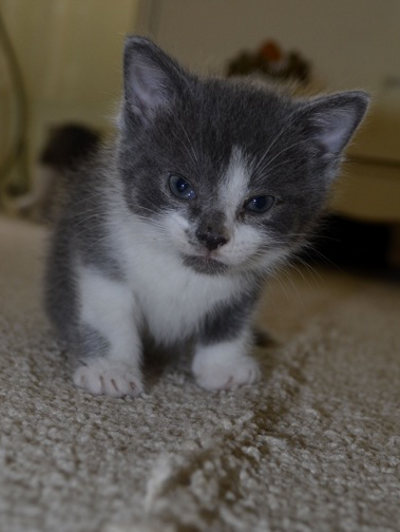 Callisto. A kitten for adoption.
