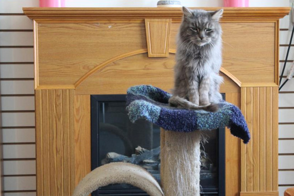 Cat named Earl Grey on his perch.
