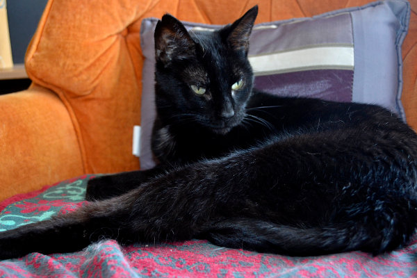 Black cat named Harpie for adoption