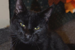 Black cat named Jordan for adoption.