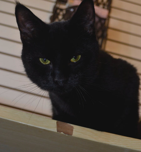 Black cat named Jordan for adoption.