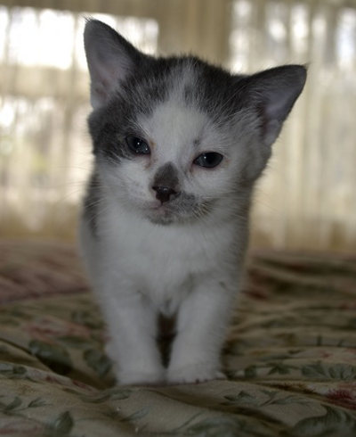 A kitten for adoption named Jubilee.
