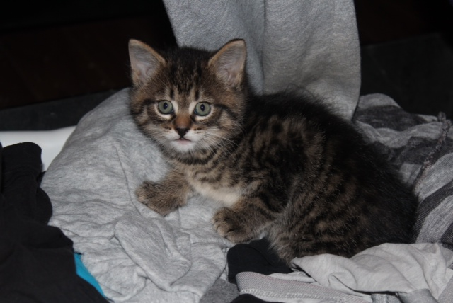 Kitten Logan available for adoption.
