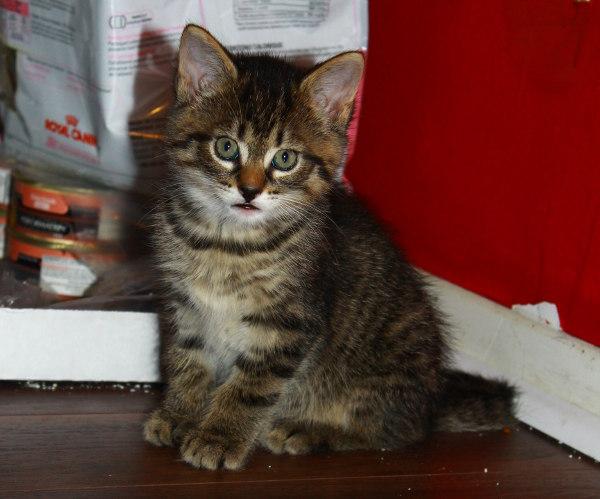 Kitten named Logan for adoption