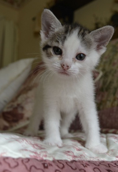 Adoptable kitten named MacIver - Adopted