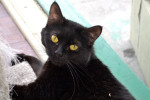 Black cat named Mystique is awaiting adoption.