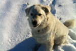Norman. A kuvasz dog for adoption