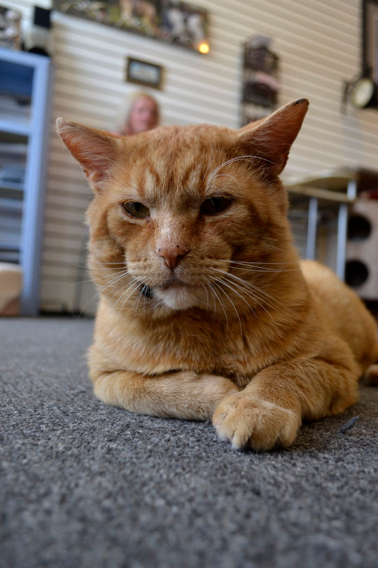 Orangie, a cat for adoption at Oasis Animal Rescue