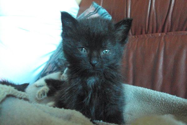 kitten for adoption named Ryo