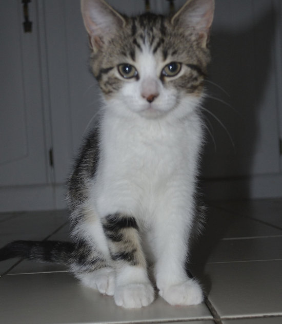 Kitten named Brooke for adoption