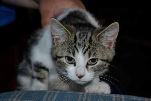 Kitten named Brooke for adoption. Stalking the camera