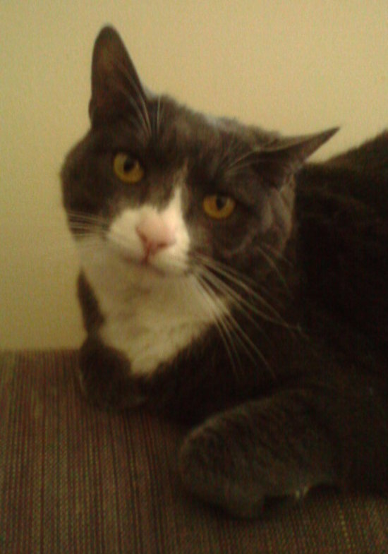 Trease, a cat for adoption.