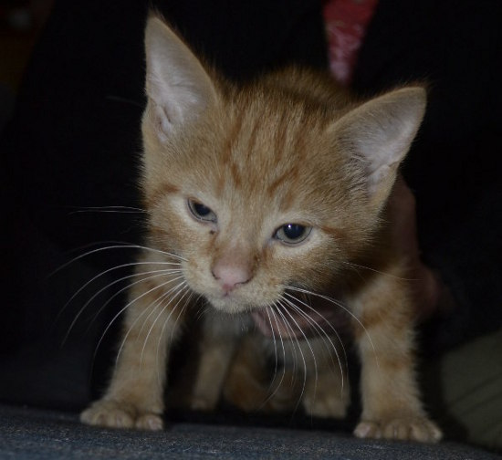 Kitten named Boots available for adoption