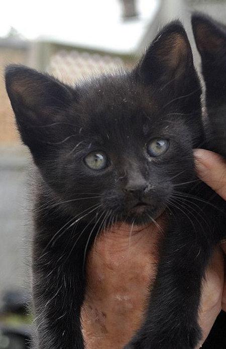 Kitten for adoption at Oasis Animal Rescue, Oshawa, ON