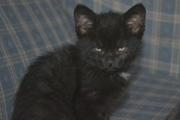 Kitten named Pantera for adoption at Oasis Animal Rescue, Oshawa
