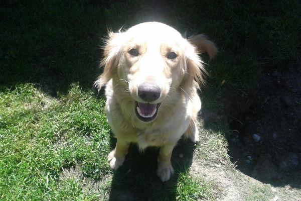 Yellow Lab / Golden Retreiver cross Tabitha. adoption / pet-rehoming. Oasis Animal Rescue