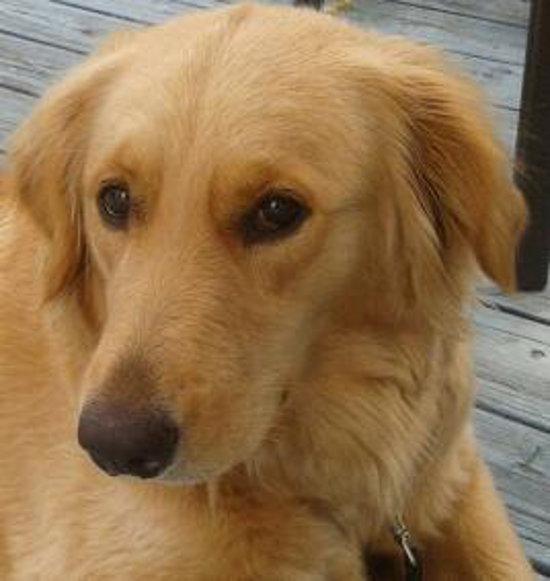 Tabitha. Lab, Golden cross dog for adoption