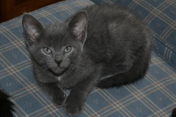 Kitten named Toupée for adoption at Oasis Animal Rescue, Oshawa