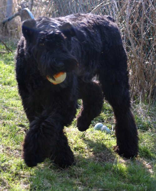 Bouviers Puppies Bouvier Breeders In South Africa | Dog Breeds Picture