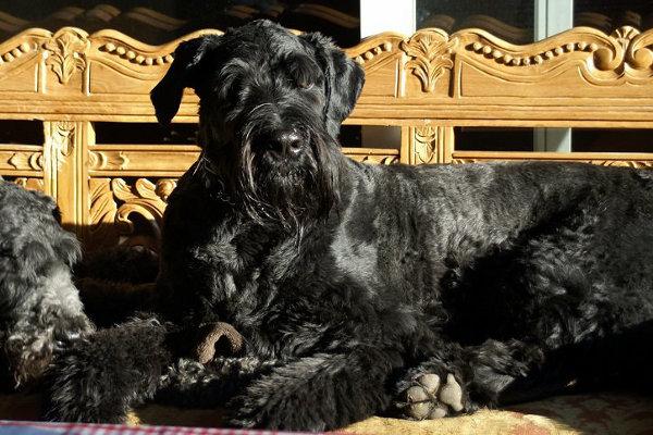 Charly. Bouvier/Golden Mix dog for adoption. Oasis Animal Rescue. Oshawa