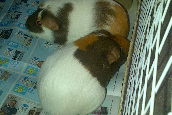 Cuddles and Jiggles. two guinea pigs for adoption at oasis animal rescue, Oshawa, ON