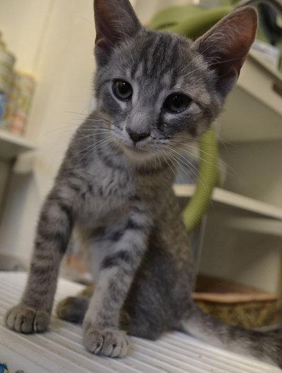 Emma. A kitten for adoption at Oasis Animal Rescue, Oshawa, ON
