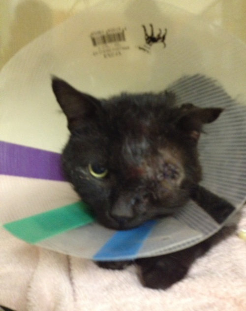 "Knuckles with the "" prescribed cone"" after eye surgery. The eye was removed during the operation. Poor guy!"