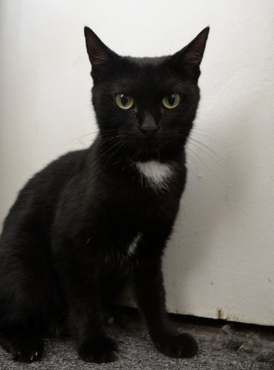 Cat for adoption: Rose. Oasis Animal Rescue, Oshawa, On