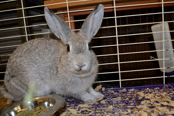 Rabbit named Silver. For adoption