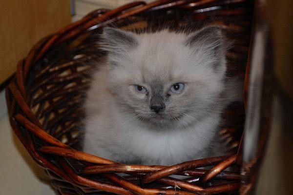 Washtay. Kitten for adoption at Oasis Animal Rescue. Oshawa, ON
