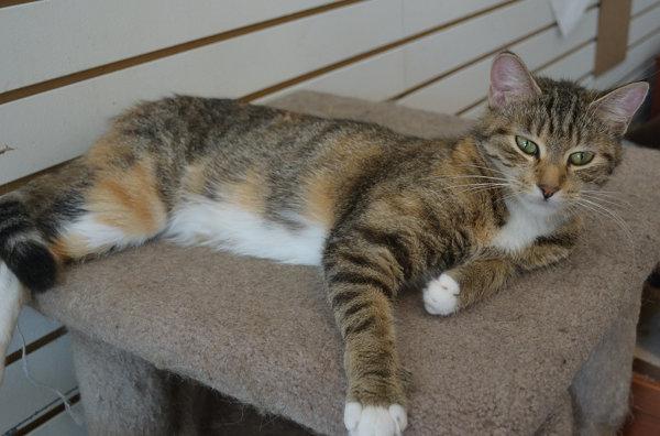 Zira. Sociable cat for adoption. Oasis Animal Rescue, Oshawa Ontario