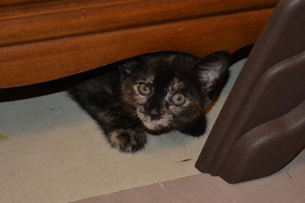Kitten named Aurora for adoption. Oasis Animal Rescue, Oshawa, ON