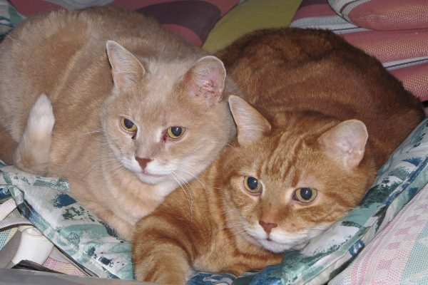 Dusty and Rusty. Cats for adoption at Oasis Animal Rescue, Oshawa, ON