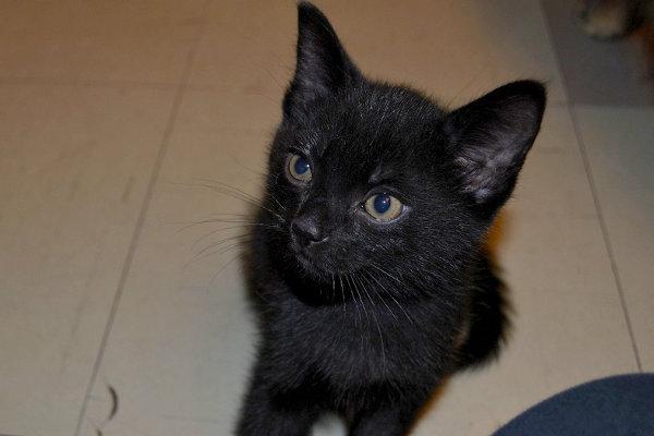 Jet - a kitten for adoption at Oasis Animal Rescue, Oshawa, Ontario