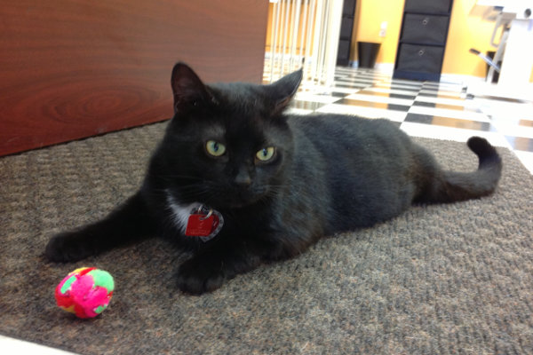Kenai. A cat for adoption at Oasis Animal Rescue, Oshawa, ON