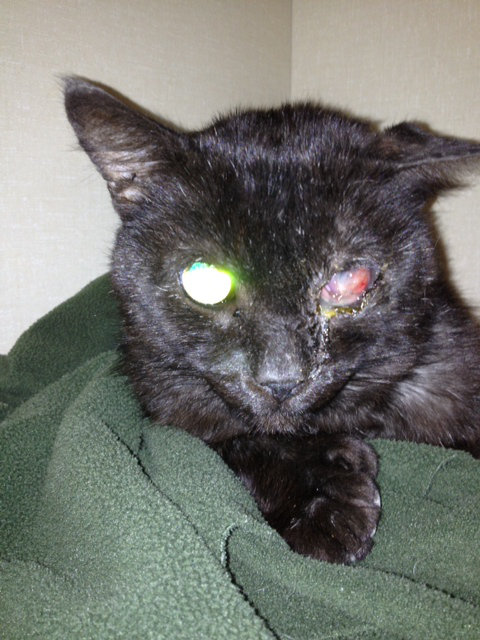 Knuckles - a badly neglected cat currently in veterinary care - oasisanimalrescue.ca