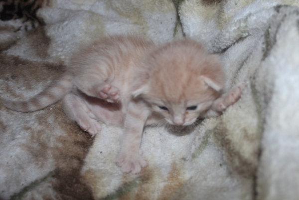 Kitten named Milo for adoption