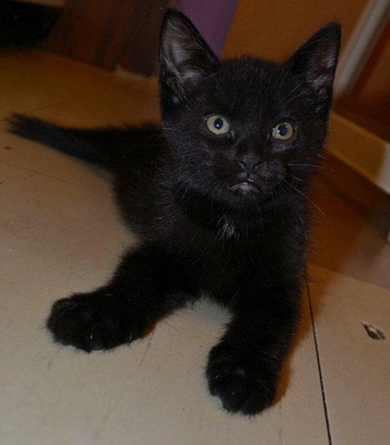 Kitten named Onyx for adoption - Oasis Animal Rescue