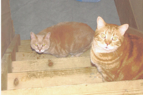 Rusty and Dusty. Cats for adoption at Oasis Animal Rescue, Oshawa, Durham Region