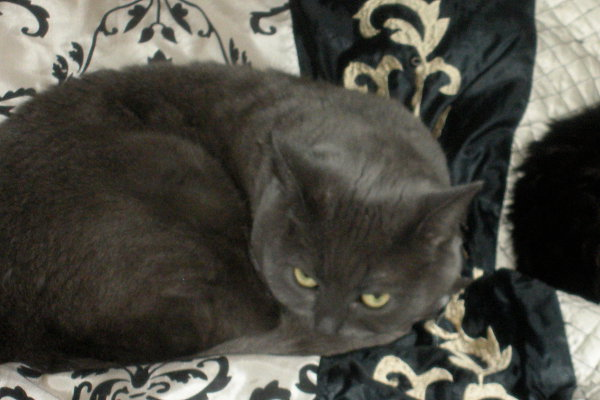 Shadow. A cat for adoption at oasisanimalrescue.ca
