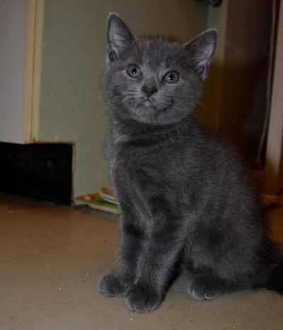 Kitten named Smokey for adoption