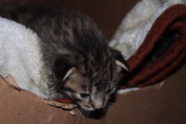 Kitten named Sassy for adoption
