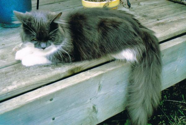 Missing Cat Millie Louise