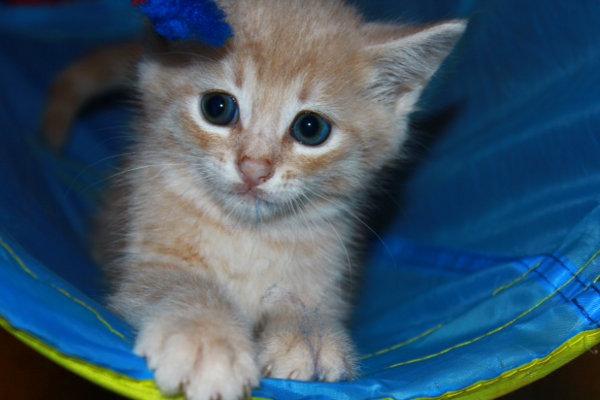 Milo, kitten for adoption