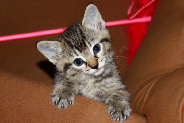 Zoey, kitten for adoption at Oasis Animal Rescue