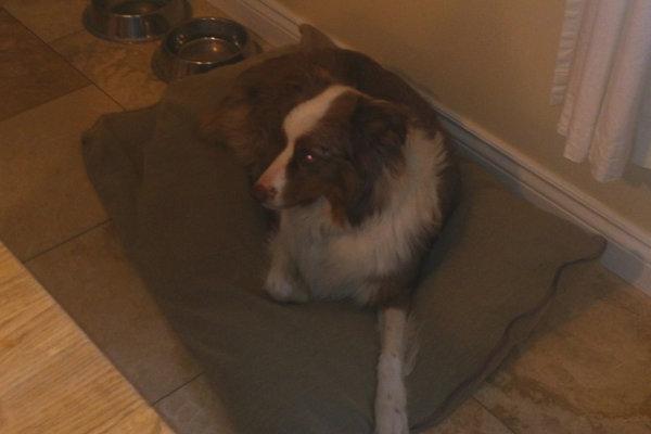 Australian Shepherd dog named Foster - for adoption