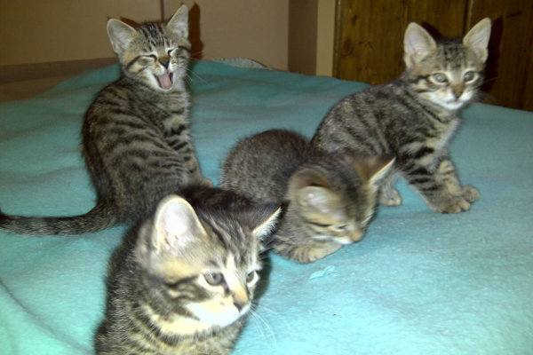 Maurie's four kittens. Ready for adoption. Oasis Animal Rescue, Oshawa